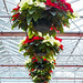 Hanging Poinsettias