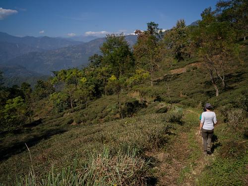 westbengal singritan india glenburnteaestate darjeeling kambalteagarden in