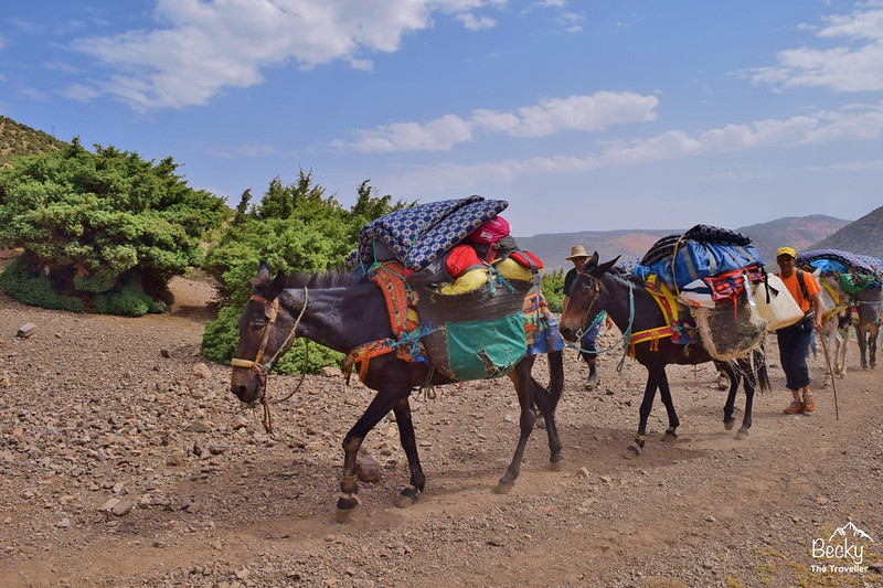 Mules in the Atlas Mountains - Mt Toubkal Trek
