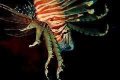 #underwaterphotography #lionfish #scubadiving #anilao #batangas #philippines