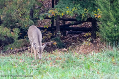 Deer 2 @ 2017 Kelly Faughnan Golf Tournament,  Westfields Golf Club - Clifton, VA