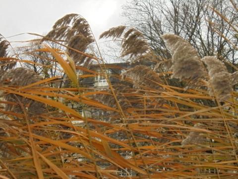 Lietzenseepark im November - Schilf