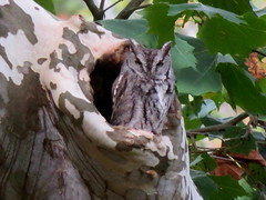 Eastern Screech-Owl,  Venango Co., 10/13/2017