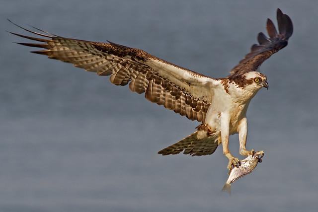 IMG_7754 Osprey with prey