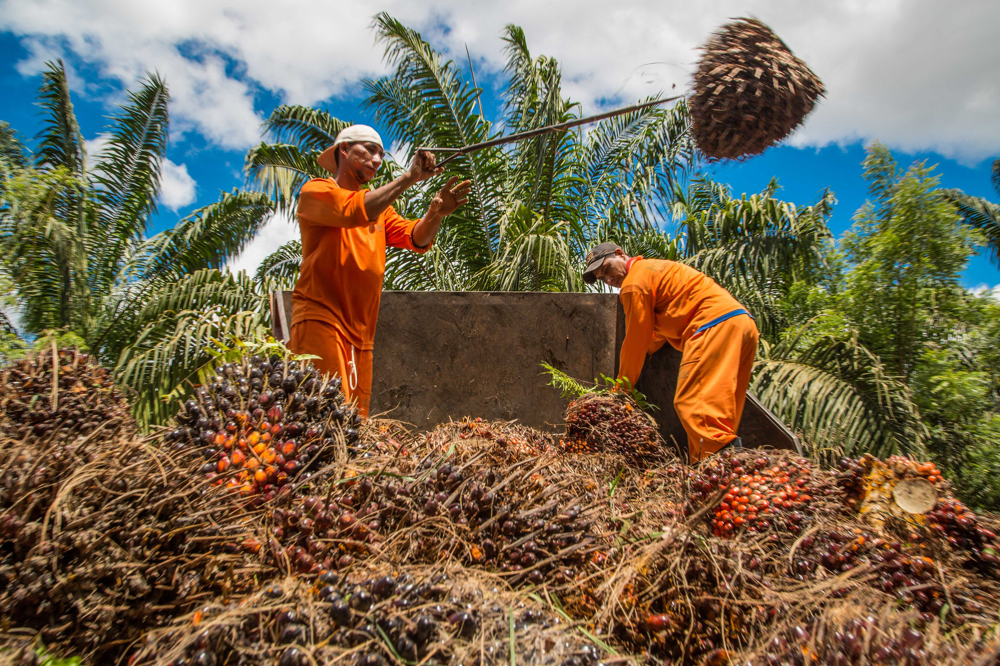 Oil palm in Brazil