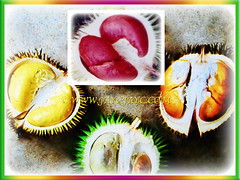 Flesh of Durio zibethinus (Durian, Common Durian, Civet Fruit, Durian Kampong in Malay) in varying colours, 10 Nov 2017