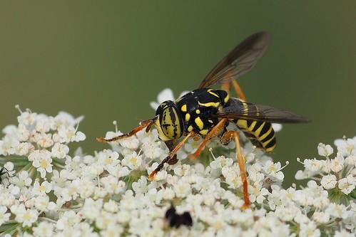 Wasp-mimic hoverfly (Spilomyia saltuum), Villeneuve-de-Berg, Ardèche, France