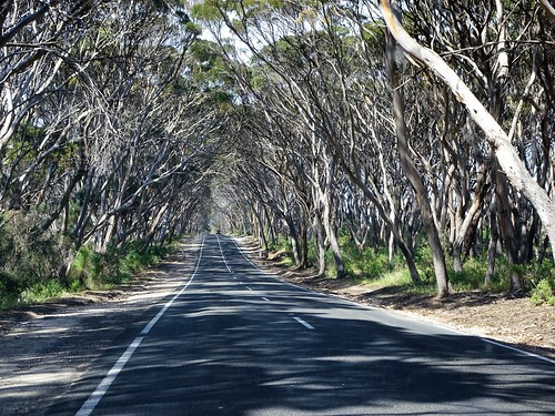 Penneshaw. Kangaroo Island. The road to Kingscote near Penneshaw where the Mallee grows very high.