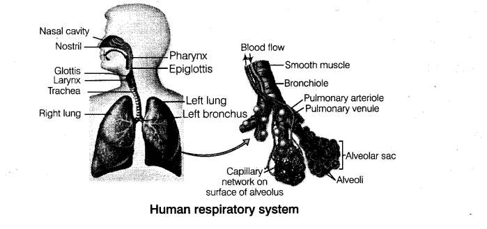 NEET Biology Breathing and Exchange of Gases Respiration 4