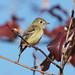 Hammond's Flycatcher (Empidonax hammondii) by fmlehman