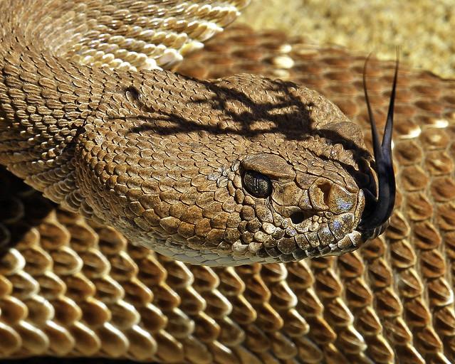 Red Diamondback Rattlesnake 😎👀