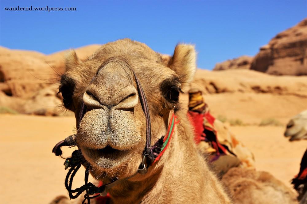 Kamele im Wadi Rum, Jordanien