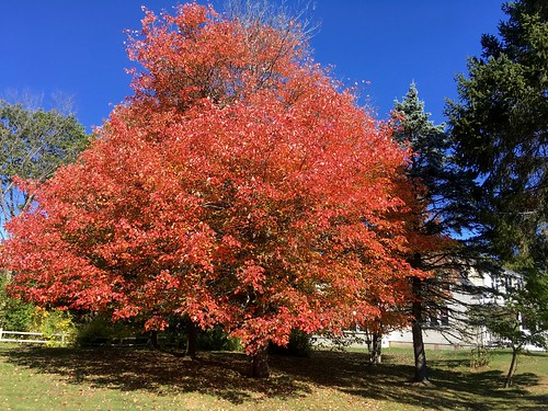 Very Red Maple