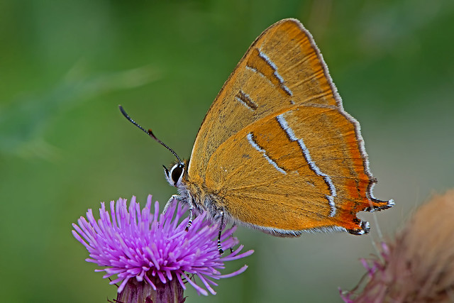 Thecla betulae - the Brown Hairstreak