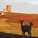 Red Deer Hind Cervus elaphus 003-1