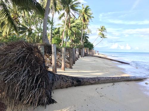 今日のサムイ島 11月22日 やしの根見てきました。
