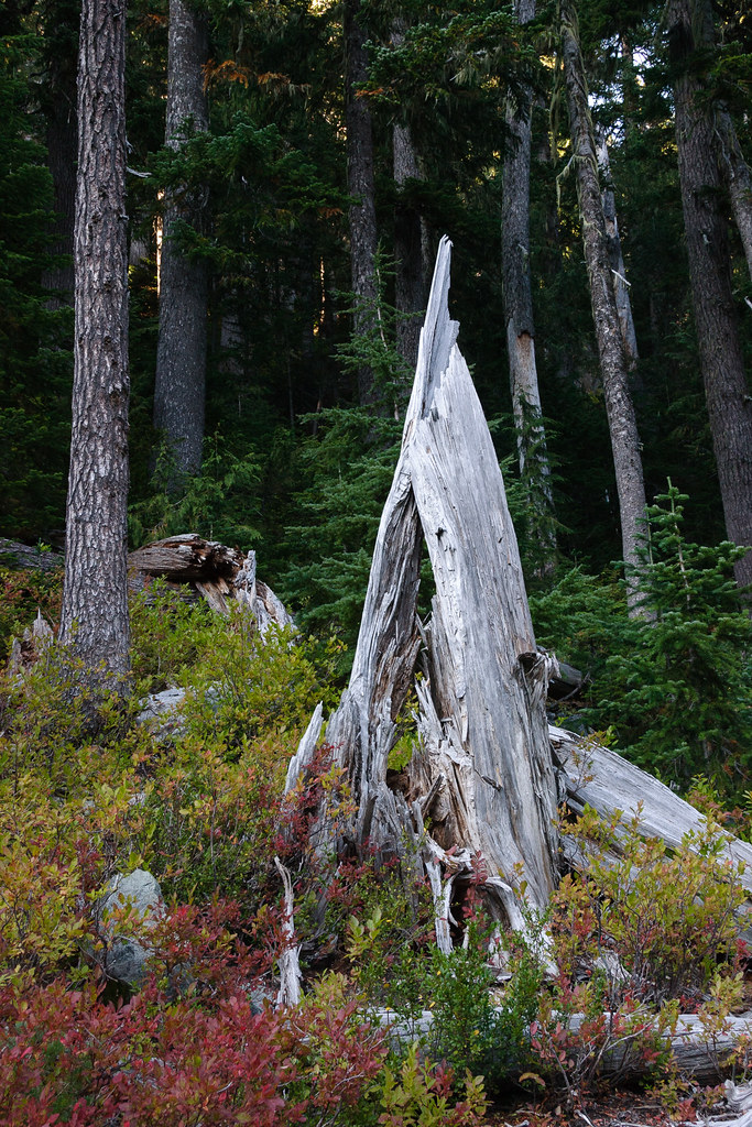 A broken tree along the Summerland Trail in Mount Rainier National Park