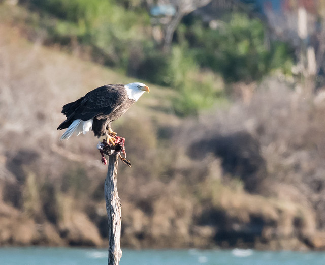 Bald Eagle on a Stick, Cropped
