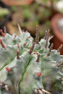 DSC_6145 Euphorbia horrida ユーフォルビア げんこつホリダ