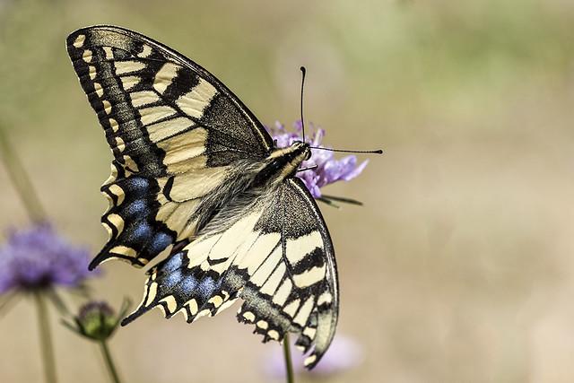 Papilio machaon