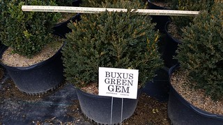 Buxus Green Gem 10 gal 18-24 | by Johnson Farms