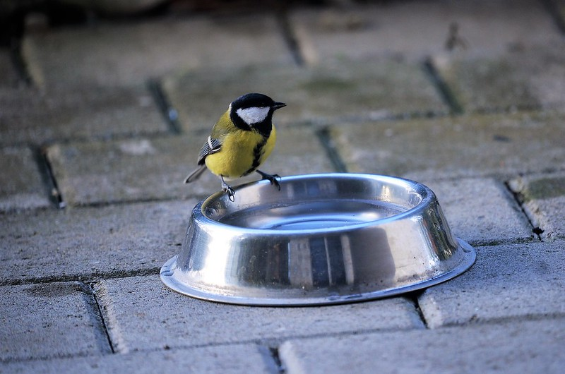 Great Tit 18.11 (1)