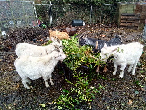 goats eating privet Nov 17