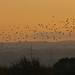 Evening Starlings