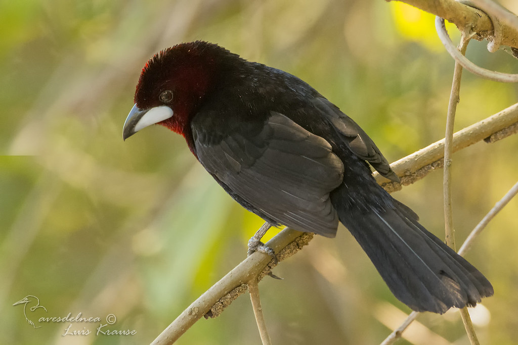 Fueguero Oscuro / Silver-beaked Tanager - Ramphocelus carbo (Pallas, 1764)