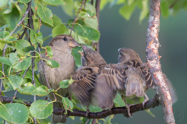 House Sparrows (Passer domesticus), female feeding offspring-3911