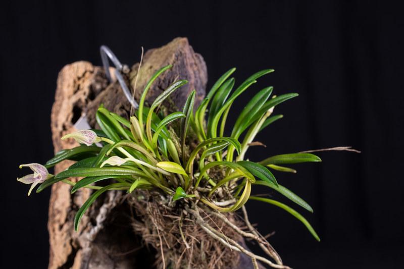 Miniatur-Orchideen Teil 4 - Seite 5 37916156425_e1692f7874_c