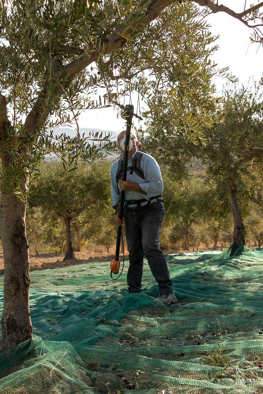 Harvesting olives.