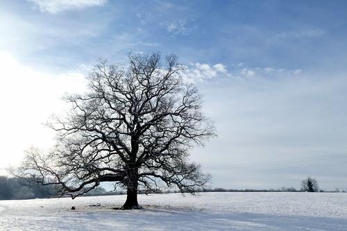 Hallow Snow - oak tree