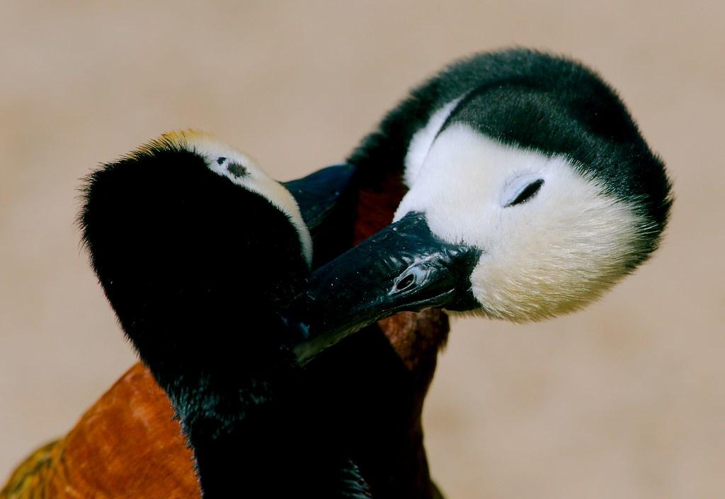 Duck_9