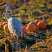 Sandhill Crane with Pumpkins