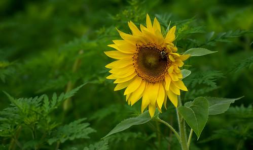 Sunflower among the Ferns
