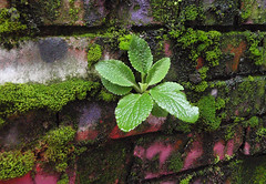 A plant growing in between the 'pink' bricks at 1000 Parker St in Vancouver, Canada