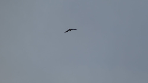 Kestrel out hunting, Malvern Hills