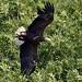 White Tailed Sea Eagle  (41)