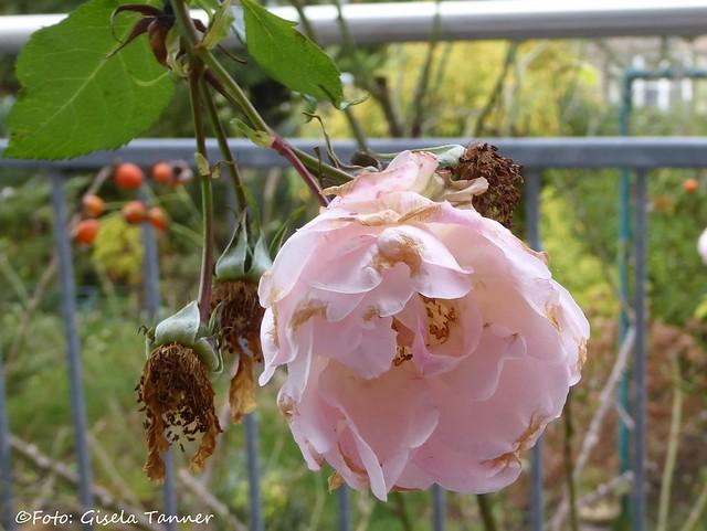 Rosen im November