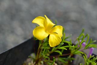 DSC_6916 (1) Oxalis meisneri  オキザリス メイスネリ