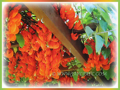 Mucuna bennettii (New Guinea Creeper, Scarlet Jade Vine, Red Jade Vine) requires a strong pergola to support its growth