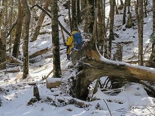倒木を縫って進む