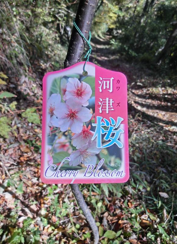 河津桜、植えたのかな CIMG5710
