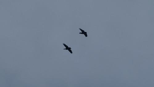 Pair of ravens, Malvern Hills