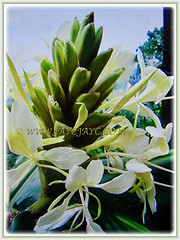 Hedychium coronarium (White Ginger Lily, White Ginger, Butterfly Ginger Lily, Garland Flower) blooming sequentially beginning from the base, 4 Nov 2017