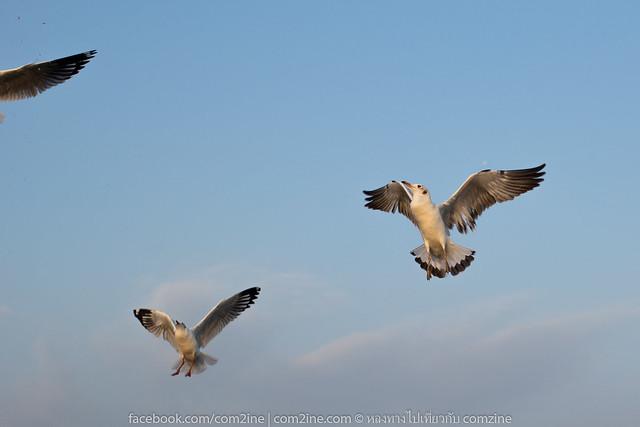 นกนางนวลที่บางปู คลองตาก๊ก
