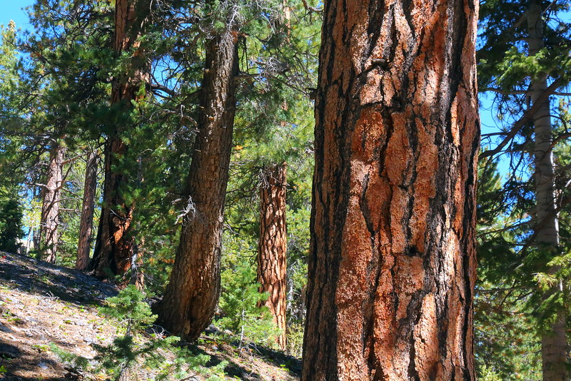 IMG_9731 Ponderosa Pine