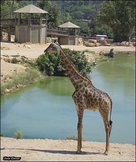 Giraffe in Jerusalem-Biblical-Zoo-IZE-656b