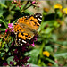 Painted Lady Butterfly in the November sunshine
